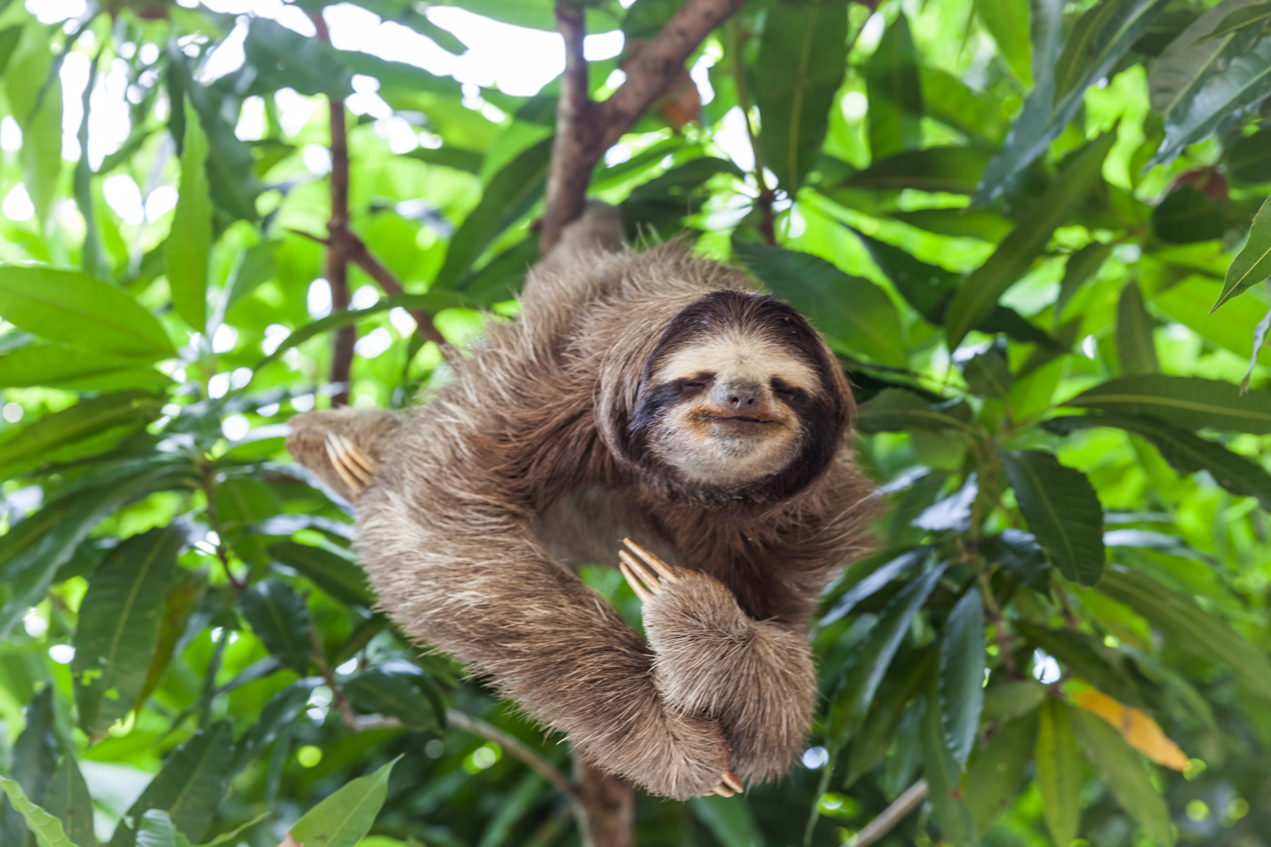 Is it Legal to Own a Pet Sloth in California?